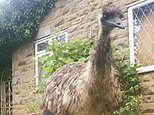 Ethel the emu is still on the run in Doncaster