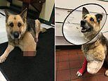 Starving dog chewed off her LEG when chained up with no food
