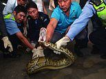 Forty-pound python hides in a spa's ceiling for 10 years
