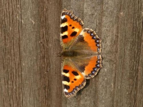 Small Tortoiseshell: The lost generation