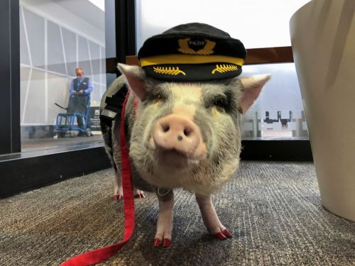 San Francisco has an airport pig to help make stressed-out passengers happy