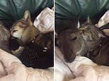 Adorable video of cat grooming kangaroo while magpie grooms catin Western Australia