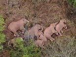 Scientists baffled by elephant herd's 300-mile trek across China and out of character behaviour