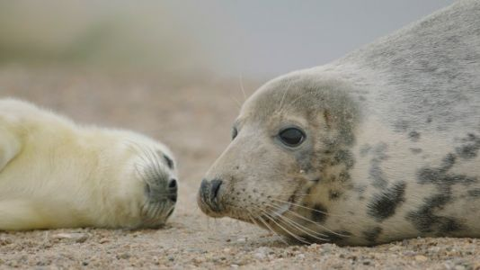 Seal Pups in the UK