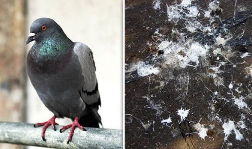 Pigeon infection: How dangerous is an infection from pigeon droppings? Two dead in Glasgow