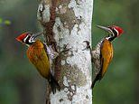 Woodpeckers move their beaks 'like a drill bit' at a speed of seven metres a second