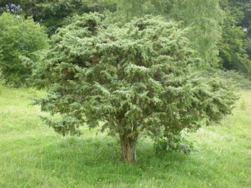 Rescue mission to save 'gin plant' juniper in southern England bears fruit