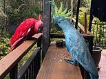 Cockatoos dyed red and blue turn up for food at a woman's home near Sydney Royal National Park: