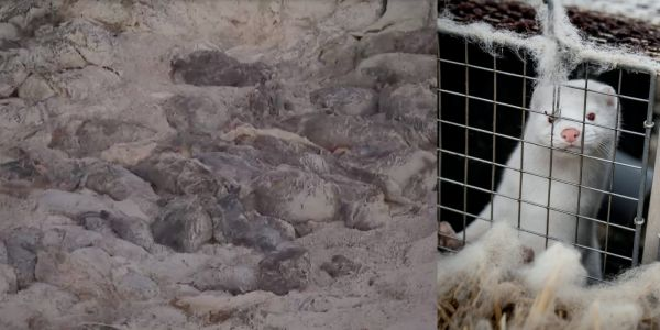 Bloated carcasses of the mink culled by Denmark to stop the spread of a COVID-19 strain are surfacing from their mass graves