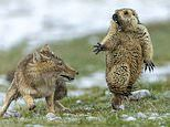 Image of startled marmot frozen in fear as it is threatened by a fox is wildlife photo of the year