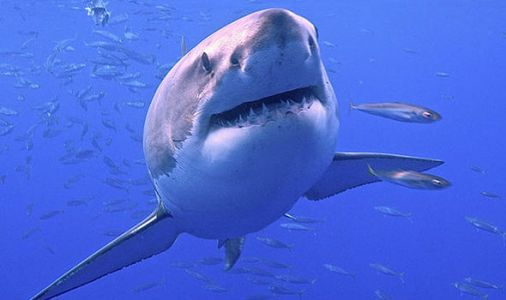 Great whites swim for MONTHS to dine at 'secret shark cafe' in Pacific Ocean
