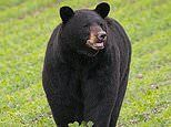 Black bear named Bruno travels 400 miles in search of mate, becoming an unlikely social media star