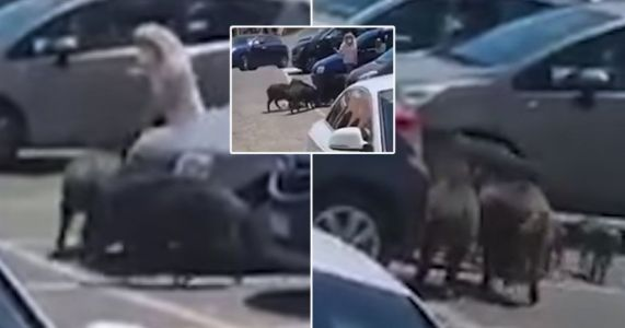 Wild boars surround woman and snatch her shopping in supermarket car park