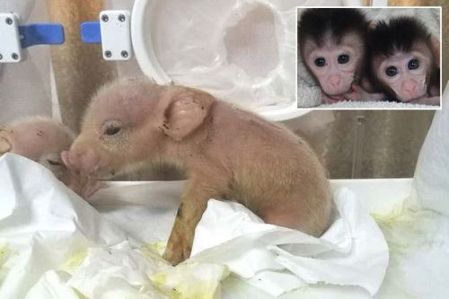 World's first pig-monkey hybrids created by scientists in Chinese laboratory