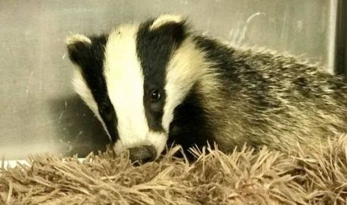 Heartless thieves break into animal hospital and steal helpless badger cub