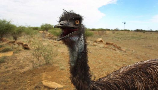 Runaway emus captured in Texas