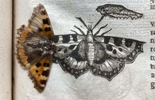 Perfectly preserved 400-year-old butterfly found inside library book