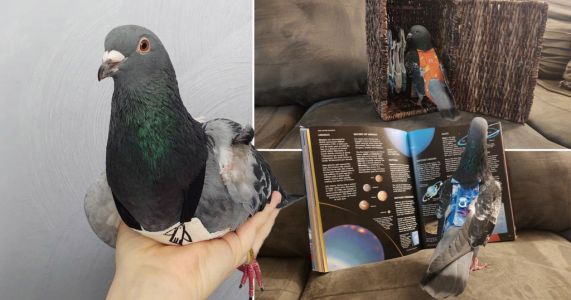 Meet the rescue pigeon who loves dressing up in stylish outfits and even has his own wardrobe