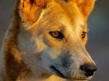 Inside the fight to stop dingoes being wiped out as they are poisoned in their thousands