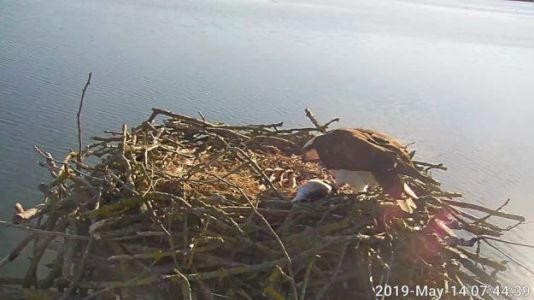 150th osprey chick hatches at Rutland Water NR