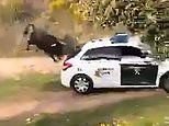 Angry bull charges a police car and HEADBUTTS it after escaping a farm. before meeting a sticky end