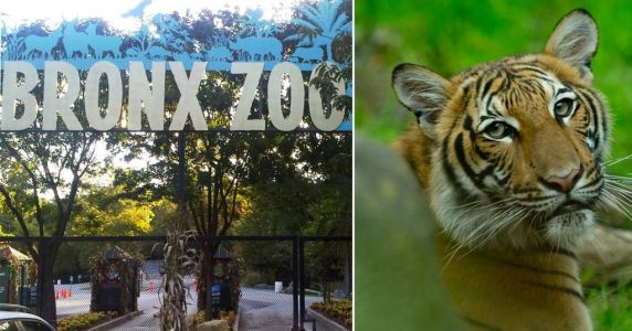 Tiger at NYC zoo tests positive for coronavirus