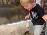 Two-year-old plays with his lockdown playmate Peter Pan the lamb his family is hand-rearing
