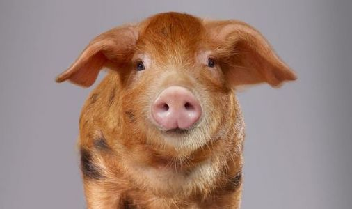 Back from the dead: Scientists resurrect pig brains boosting immortality hopes