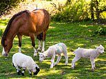 Mountain pony adopts three orphan lambs and even feeds them with her milk