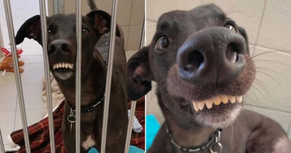 An ex-racing greyhound with a goofy grin is looking for a forever home