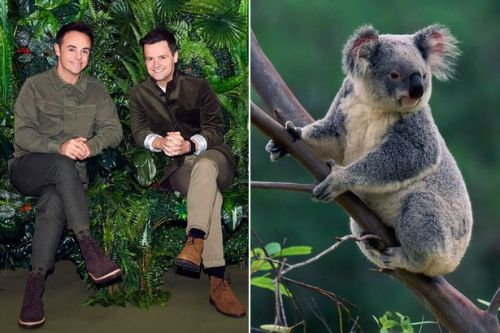 I'm A Celebrity 'chlamydia fears' as koala invades the camp ahead of new series