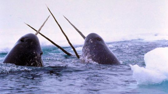 Scientists Record Rarely Heard Sounds Made by Narwhals