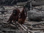 Heart-breaking photos show endangered orangutans made homeless by forest fires