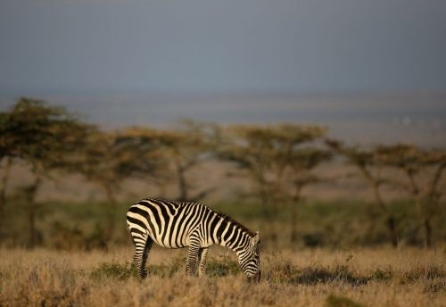 Scientists still stumped by zebra stripes