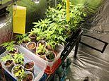 Pot-growing tenant kicked out after leaving cannabis plants in lounge room during open inspection