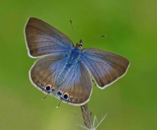 Long-tailed blue butterfly invasion