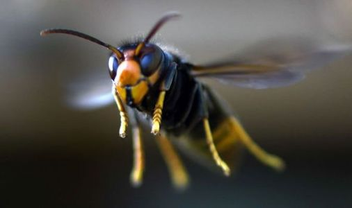 Asian hornet UK: Deadly insects arrive in Spain - will the UK be next?
