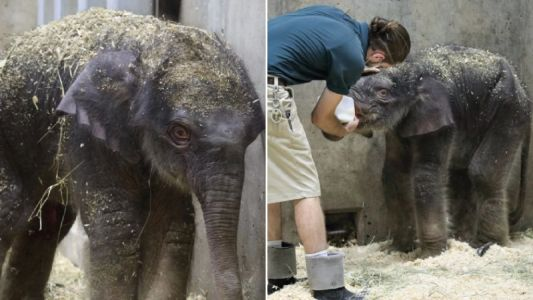 Baby elephant put to sleep after he was born with disability that prevented him from eating