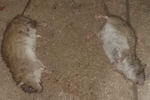 SNP insist more action needs to be taken over North Lanarkshire rat problem