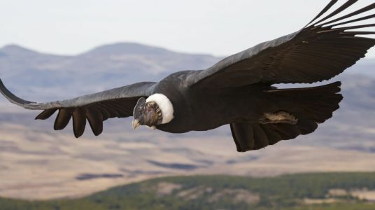 Andean Condor Soared for 100 Miles Without Flapping Its Wings