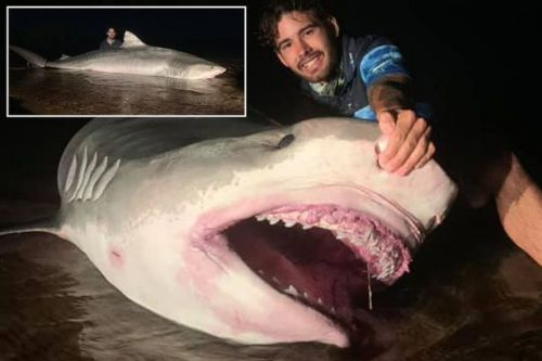 Fisherman reels in tiger shark and is slammed as fish looks 'very dead' in photo