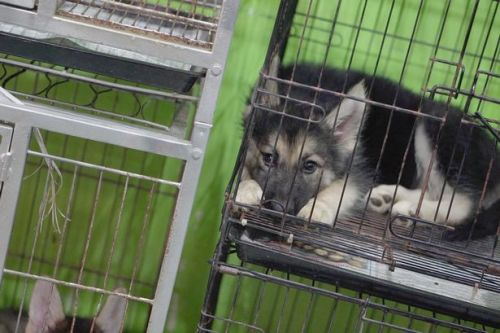 Brits buying sick and thirsty 'fashion' puppies from tiny cages at night markets