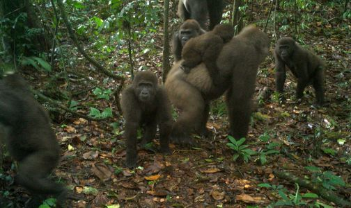 World's rarest gorilla spotted with offspring in Nigeria's jungle