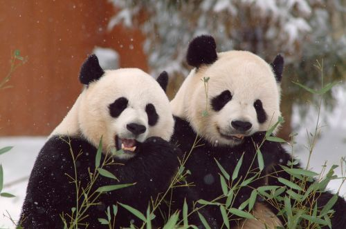 Giant pandas are no longer endangered but still vulnerable, China says