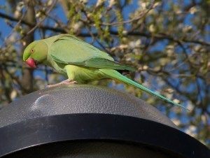 Study busts myths about origins of UK's parakeets