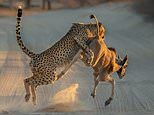 Cheetah RUGBY TACKLES young antelope before wrestling it to the ground in South African game park