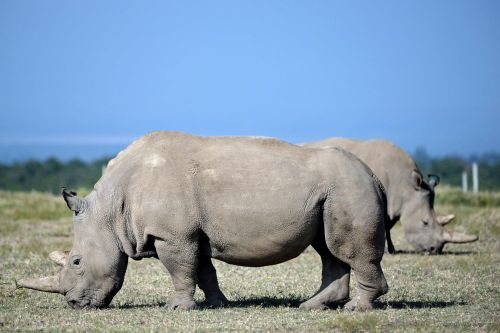 The critically endangered northern white rhino may just be saved by science