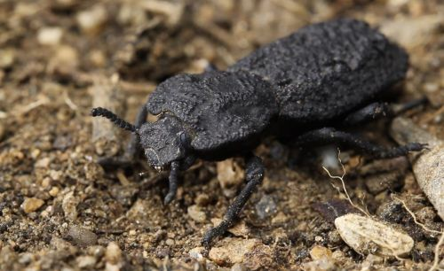 Diabolical ironclad beetles can get squished under 39,000 times their weight and survive. Scientists figured out how