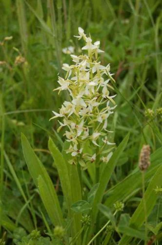 Lesser Butterfly Orchid - Project Update