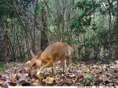 'Lost' mouse-deer rediscovered in Vietnam